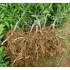 优质砂糖桔苗批发价格 梧州砂糖桔苗种植技术