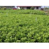 供应广西精品沙糖桔苗 广西优质的沙糖桔果苗