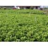 完好的沙糖桔苗优选隆泉果蔬,广西沙糖桔果苗批发
