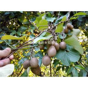 陕西安康野生猕猴桃 野生水果 奇异果 非四川猕猴桃