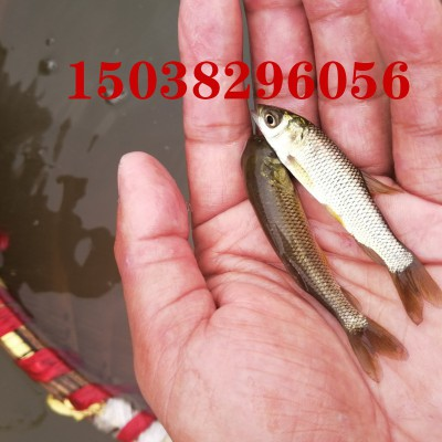 郑州黄河渔场鱼苗供应草鱼苗哪家好